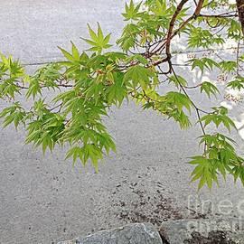 Japanese Maple Spring by Nancy Kane Chapman