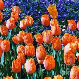 Keukenhof Tulips by Kathryn Jones