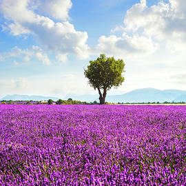 Lavender field and lonely tree. Provence, France by StevanZZ Photography