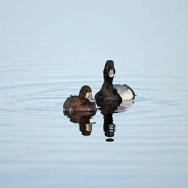 Lesser Scaup - Drake and Hen by Whispering Peaks Photography