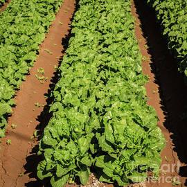 Lettuce by Robert Bales