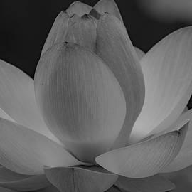 Lotus Flower by Kari McDonald
