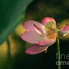 Lotus by Igor Baranov
