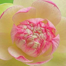 Lotus Petals by Kevin Lane