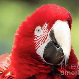 Macaw by Nick Boren