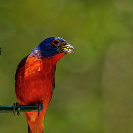 Male Painted Bunting by TJ Baccari