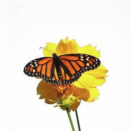 Monarch Butterfly Art by Scott Cameron