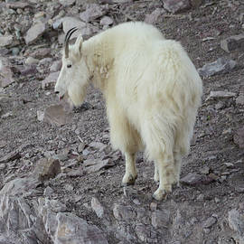 Mountain Goat 2 by Whispering Peaks Photography
