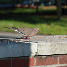 Mourning Dove In the Park  by Chris Mercer