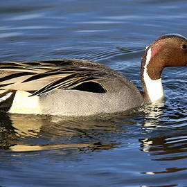 Northern Pintail  by Rob Wallace Images