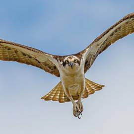 Osprey In Flight #5 by Morris Finkelstein