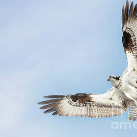 Osprey in Flight by Linda D Lester