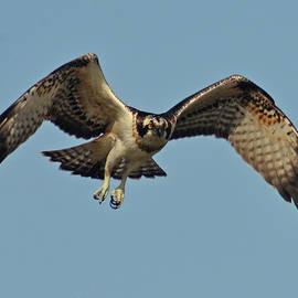 Osprey In The Sky by Nicola Fusco