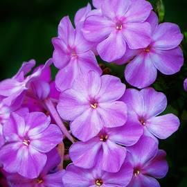 Phlox in Pink  by Lori Frisch