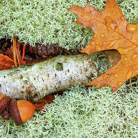 Pin Oak Leaf by Tom Gallovich