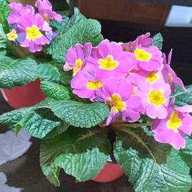 Pink African Violets by Charlotte Gray