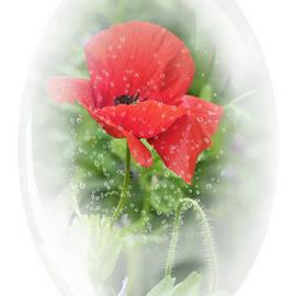 Poppy by Lynn Bolt