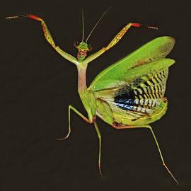 Praying Mantis by Nicola Fusco