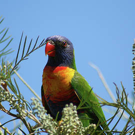 Rainbow Lorikeet perched on a Grevillea by Maryse Jansen