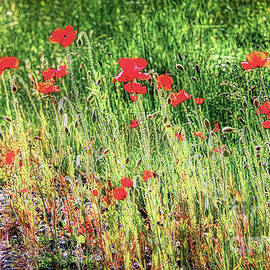 Red Poppies On The Path by Michele Hancock