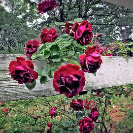 Red Roses White Fence by Brian Wallace