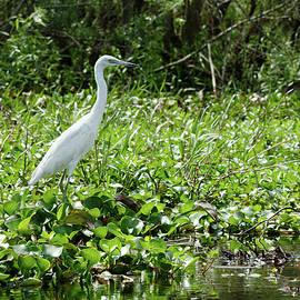Reddish Egret White Morph by Sally Weigand