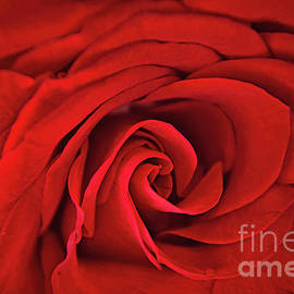Rose by Geraldine DeBoer