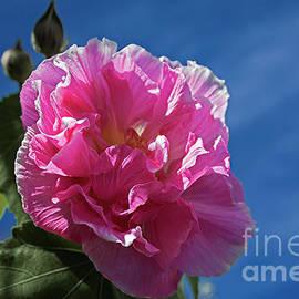 Rose of Sharon card by Elaine Teague