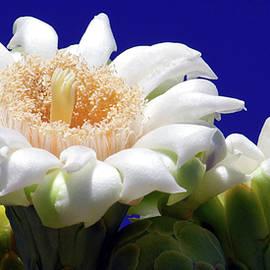Saguaro Blossom Vista by Douglas Taylor