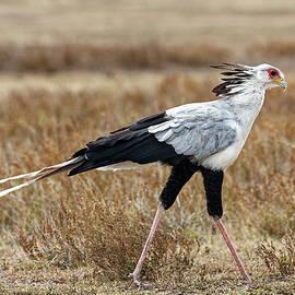Secretary Bird Walking by Sally Weigand