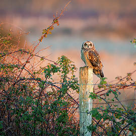 Short-eared Owl by SGR Photography