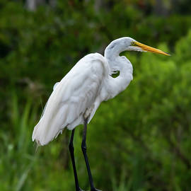 Snowy Egret by Cathy Kovarik