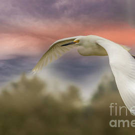 Snowy Egret by Mitch Shindelbower