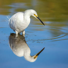 Snowy Egret Reflection  by Saija Lehtonen