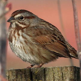 Song Sparrow by Brian Baker