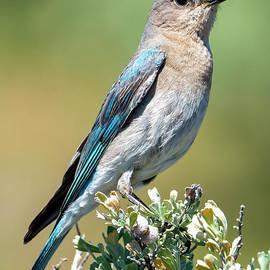 Spring Bluebird by Mike Dawson