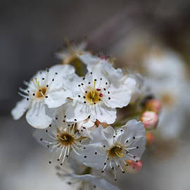 Spring White Blossom by Joy Watson