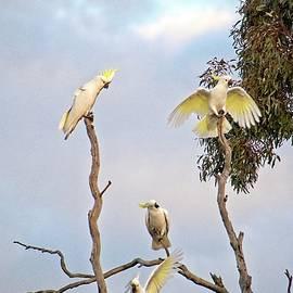 Sulphur Crested Cockatoos by Steven Ralser