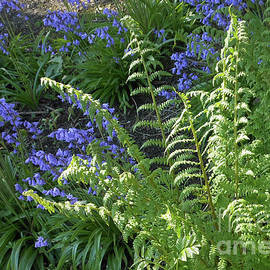 Beautiful Ferns and Bluebells by Kathryn Jones