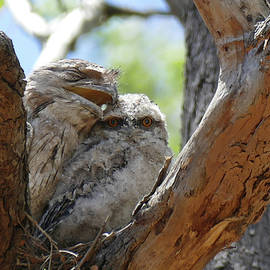 Tawny Frogmouth Cuddle by Maryse Jansen