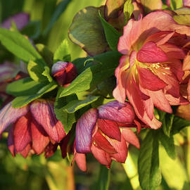 The Amazing Lenten Rose 11 by Robert Tubesing
