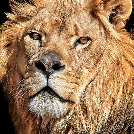 The King by Marcia Colelli