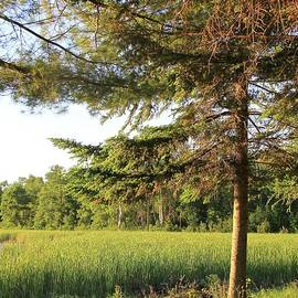 The Lone Pine by Ann Brown