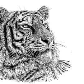 Tiger Portrait by Kathie Miller