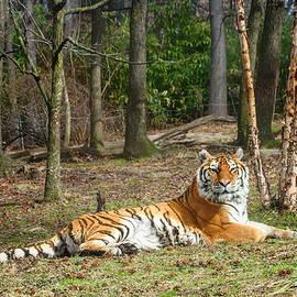 Tiger by Sandi Kroll