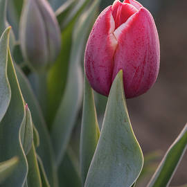 Tulip by Angie Vogel