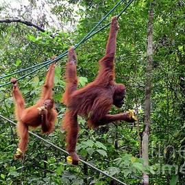 Two orang utan monkey apes on ropes with bananas at nature reserve Kuching Sarawak Malaysia by Imran Ahmed