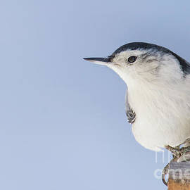 White Breasted Nuthatch by Alana Ranney