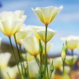 White Spring Poppies by Saija Lehtonen
