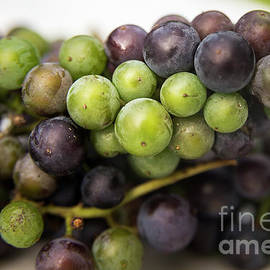 Wild Grapes by Alana Ranney